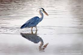 Heron Meaning by Kruger Birding Checklist Facts And Feathers