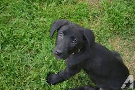 belgian sheepdog lab mix belgian malinois black lab puppies for sale in west memphis