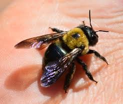 Bee Deterrent For Patio How To Deal With Carpenter Bees