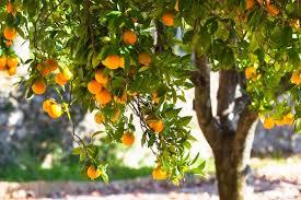 visit greece nostalgic citrus trees aromas