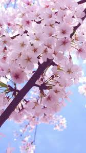 1735 best sakura images on pinterest spring cherry blossoms and