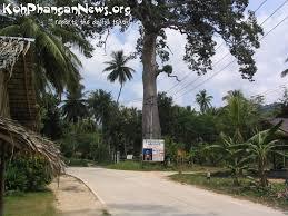 big tree baan tai village koh phangan island koh phangan island news