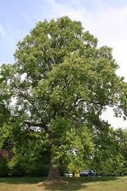 maui native plants 11 best alabama native plants trees images on pinterest native