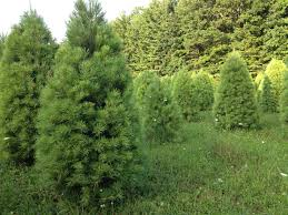 buy christmas tree chesapeake bay foundation encourages you to buy a real tree for