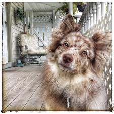 australian shepherd upstate ny 18 crossbreeds every mutt lover needs to know about dog animal