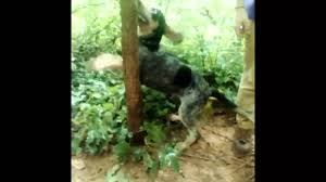 bluetick coonhound terrier mix 6 month old bluetick youtube