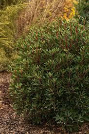 native tasmanian plants mountain pepper monrovia mountain pepper