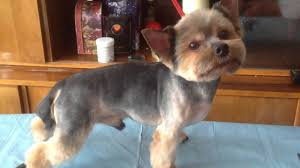 haircuts for yorkies yorkie s summer haircut youtube