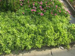 a list of drought tolerant or xerophytic plants for xeriscaping in