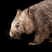 common wombat national geographic