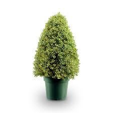 Outdoor Topiary Trees Wholesale - brussel u0027s bonsai the home depot