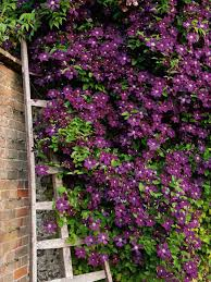 clematis and hebe1 jpg