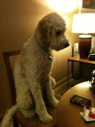 Dogs At Dinner Table 17 Best Two Dogs Images On Pinterest Labradoodle Dog