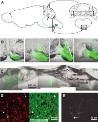 Gray Green Integration Of Purkinje Cell Inhibition By Cerebellar Nucleo