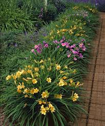 daylilies are incredibly easy to grow and thrive in summer sun