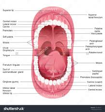 mouth and throat anatomy image collections learn human anatomy image