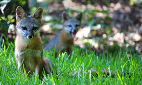 more gray fox and her kit in my backyard album on imgur