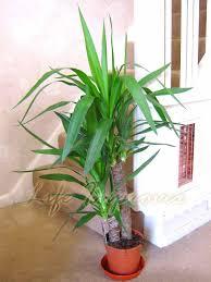 easyplants evergreen indoor plants traditional evergreen indoor
