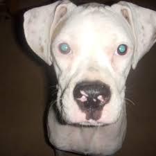 rescue a boxer dog austin boxer rescue 43 photos u0026 13 reviews pet services