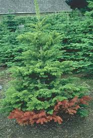 the christmas tree traditions production and disease