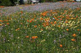 san diego county native plants creating a native wildflower meadow u2014 cnps san diego