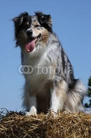 australian shepherd eyesight australian shepherds aussie u0027s my first true love blu horizon