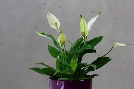 Lily Plant 10 Toxic Houseplants That Are Dangerous For Children And Pets