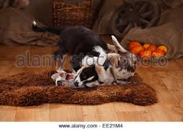 t r australian shepherds australian shepherd puppies 12 weeks blue merle and stock photo