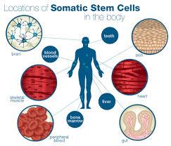 stem cells get old too u2026 sage
