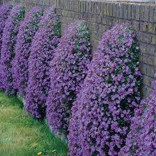 buy aubrieta blue plants j parker dutch bulbs