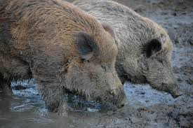 wild boar sus scrofa animals a z animals