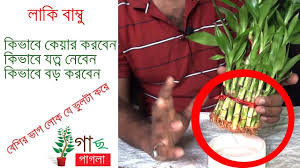 lucky bamboo care how to grow lucky bamboo plant indoor gardening