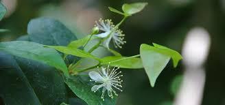 Rainforest Passion Flower - rainforest habitats