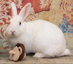 rabbit bunny cats rabbits more adoptions education pet products