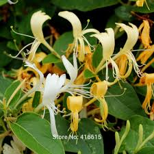 aliexpress com buy 50 hall u0027s japanese honeysuckle seeds liana