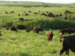 grassland native plants fire and grazing the long term ecological research network