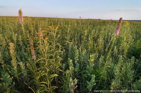 why prairie matters u2013 a guest essay the prairie ecologist