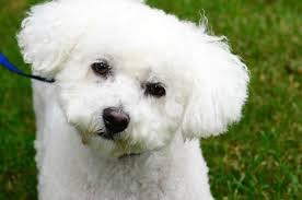 bichon frise intelligence bichon frise dog breed information pictures u0026 more