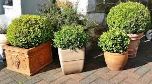 buxus sempervirens in vaso buxus sempervirens viridea