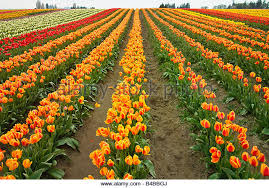 skagit valley tulip festival bloom map farm nobody skagit stock photos farm nobody skagit stock images