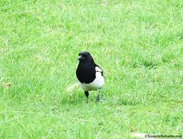 Magpie Birds In Backyards Magpie Black Billed Susan U0027s In The Garden