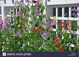 colorful sweet pea flowers growing on trellis stock photo royalty
