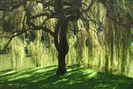 tree magic willow the healer essi tolling author