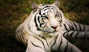 white bengal tigers key facts information pictures