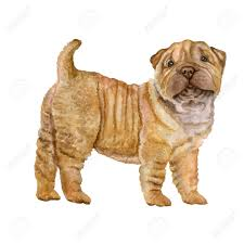 watercolor portrait of shar pei chinese breed dog isolated on