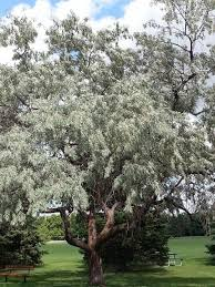 11 best russian olive tree images on olive tree
