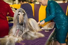 afghan hound in apartment photos the cutest dogs from day 1 of the 2016 westminster dog