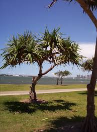 queensland native plants pandanus aboriginal use of native plants