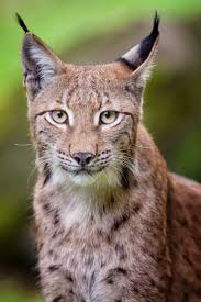 167 best bobcat images on pinterest animals lynx and big cats