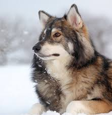 australian shepherd wolf mix against all odds a wolf and dog roleplay open general open